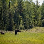 Mama and baby moose!