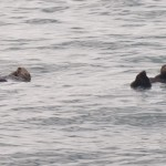Sea otters chillin' out!