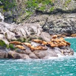 More stellar sea lions!