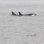 Orcas!!!
