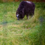 Orphaned baby musk ox