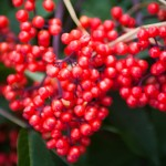 Red berries!