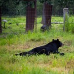 Other black bear