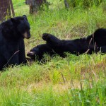 Black bears playing