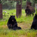 Black bears scratching