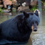 Black bear cooling off in the pond