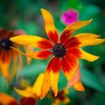 Gloriosa Daisy in Mom's garden