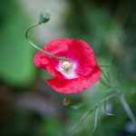 The last poppy in Mom's garden