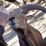 hand-feeding the ram