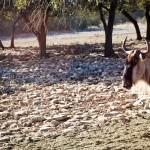 a wildebeest or white-bearded gnu