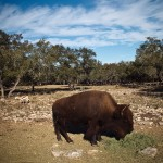 bison on the ranch