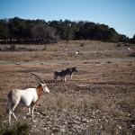 antelope and zebra