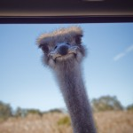 first ostrich we encountered...very polite