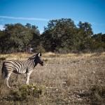 damaraland zebra on the ranch