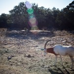 antelope on the ranch