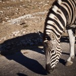 zebra and shadow