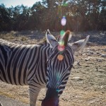 a zebra gets up close and personal with me