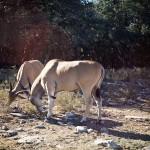 antelope in a headlock