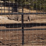 2 white rhinos napping