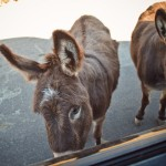 burros :: jokingly named Obama and Biden by Doug