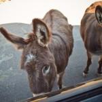 burros :: jokingly named Obama and Biden by Doug