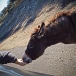 A burro eats out of Doug's hand