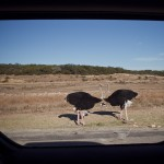 2 ostriches almost mirror-image framed by the truck window