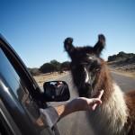 hand-feeding the llama