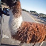 feeding the llama :: man, this animal STUNK!