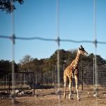 baby giraffe Marigold