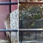 an optical illusion :: looks like 1 giraffe, doesn't it?