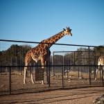 one of several adult female giraffes