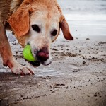 chewing that tennis ball!