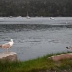 gulls in Northeast Harbor