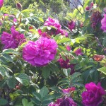 Rugosa Roses along the ocean in Acadia